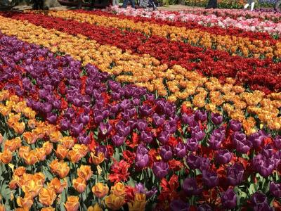 春のオランダ vol.3 ロッテルダム・キンデルダイクの風車・キューケンホフからの帰国【完】