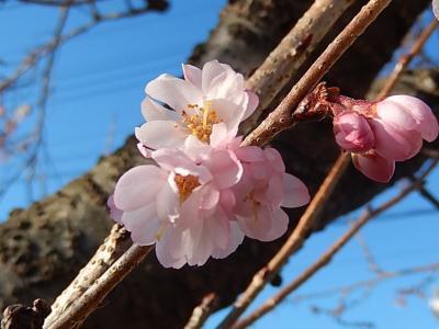 美しかった冬桜その後(1月13日観察)