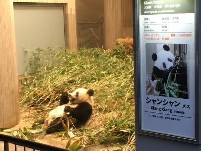 2019ジャイアントパンダ観覧記録 やっと起きているシャンシャンに会えました☆上野動物園