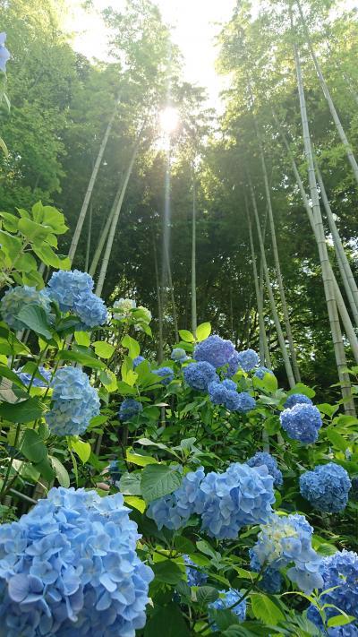 紫陽花のきれいな季節に鎌倉へ
