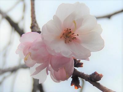 美しかった冬桜その後(1月15日観察)