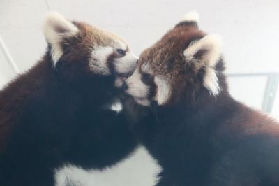新春2019・静岡レッサーパンダ遠征(5)日本平動物園(前編)去年生まれのレッサーパンダの子供たちは、小さなお兄ちゃんのまるおくんと大きな妹のまるこちゃん&アビシニアコロブスの親子