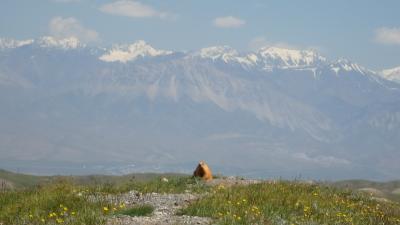 キルギス・アドベンチャー(2)マーモットが出迎え、レーニン峰山麓のお花畑を満喫