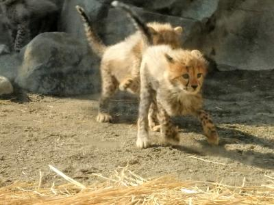 チーターのふわふわ5つ子ちゃんと オランウータンの赤ちゃん&キューの誕生会@多摩動物公園