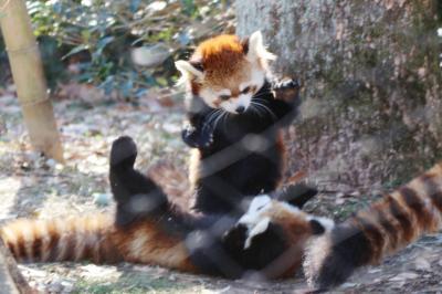 年始3日連休に2日通った埼玉こども動物自然公園(後編)最後にコツメカワウソの六つ子の赤ちゃんは見られた1日目の続き~姉妹展示のレッサーパンダで久しぶりのお外みやびちゃんやフタユビナマケモノとコアラもリベンジできた2日目