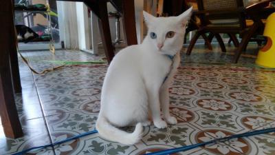 パパは留守番2017 チェンマイで猫のいるホテルに泊まる!