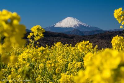 大寒を前に春の息吹きを感じる(2)吾妻山公園の菜の花と富士の眺望