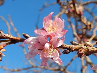 美しかった冬桜その後(1月19日観察)