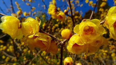 関西花の寺第12番 池田市久安寺の蝋梅の花 上巻。