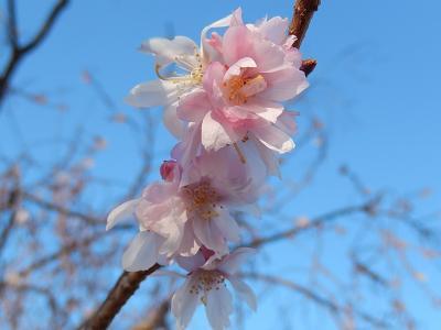 美しかった冬桜(1月23日観察)