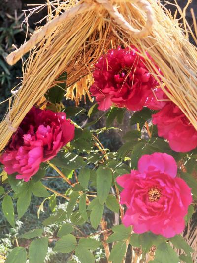 上野-7 東照宮 牡丹苑a  冬ぼたん 開花見ごろに ☆抑制栽培の技術を駆使して