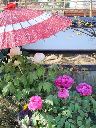 上野-8 東照宮 牡丹苑b  冬ぼたん きれいに ☆〈大切にされて驕らず冬牡丹〉の句も
