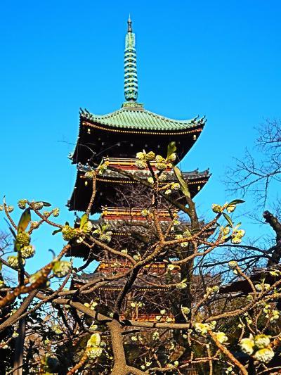 上野-9 東照宮 牡丹苑c  冬ぼたん 茶店で休憩 ☆五重塔前にミツマタの花咲いて