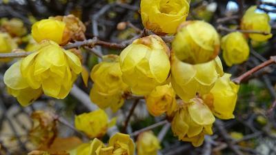 蝋梅の花を探しての街歩き その3。