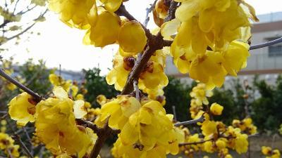 蝋梅の花を探しての街歩き その4。