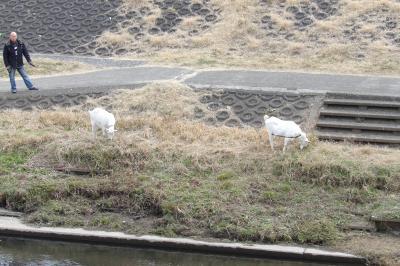 柏尾川河川敷で草を食むヤギ