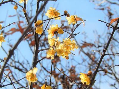 所沢市南永井で見られた蝋梅の花