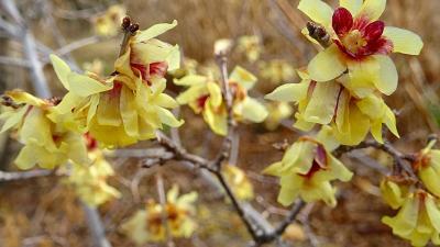 この冬一番の寒い日 蝋梅の花を探して、朝食後の街歩き 上巻。