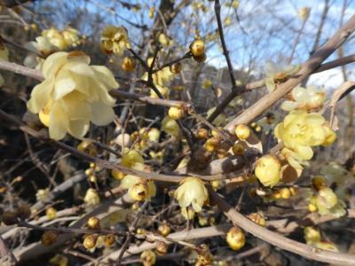 埼玉・大宮で蝋梅を楽しむ2019~ハナミズキ生産農家のロウバイまつり~