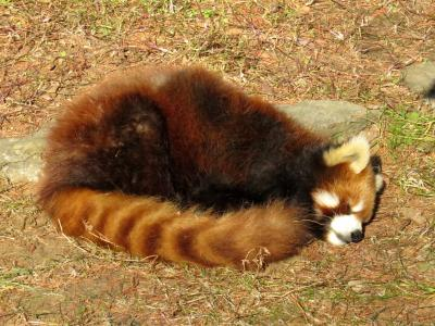 (続)レッサーパンダ紀行 長生きしてねキキ君、ミクちゃん・・・ここはレッサーパンダの老健ホーム(大崎公園子供動物園)