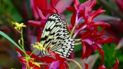 昆陽池公園の昆虫館の蝶の見学 下巻。
