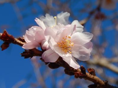 素晴らしかった冬桜その後(1月27日観察)
