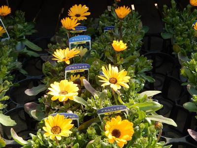 ガーデンセンターで見られた春の花⑥