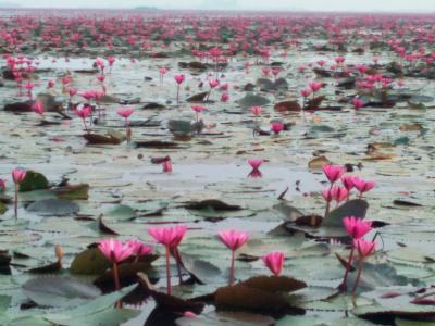 赤い蓮の花を見るウドンタニ旅行記