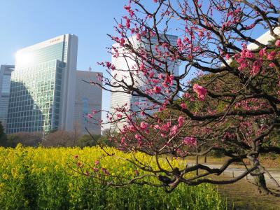 菜の花と紅梅、一足早い春気分…浜離宮庭園