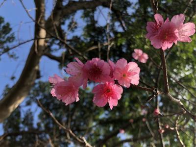 今帰仁城址桜祭り 美ら海らんち今回は泊まりん泊