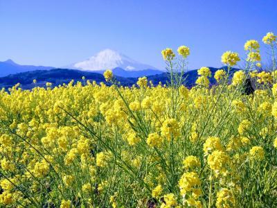 国府津 曽我梅林の梅まつりと、二宮吾妻山公園の菜の花ウォッチング
