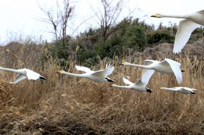◆立春を翔る釈迦堂川の白鳥三昧