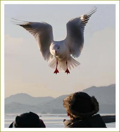 Solitary Journey[1970]ユリカモメと遊ぶ♪投げ上げるえびせん&スティックパンをナイスキャッチ!<地御前海岸>広島県広島市