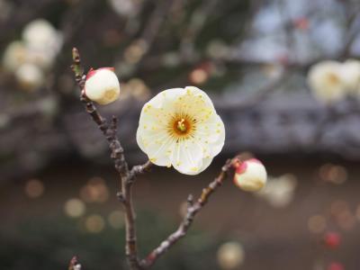 京都散歩・大徳寺本坊特別公開と 建勲神社、同志社大学と御所あたりを梅を探してうろうろ歩く。