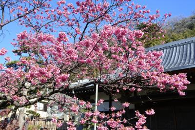 土肥桜まつり~あたみ桜