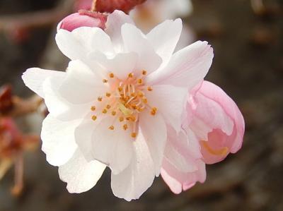 美しかった冬桜その後(2月3日観察)