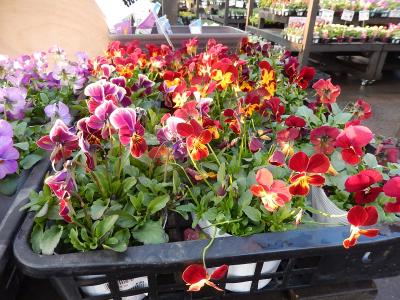 ガーデンセンターで見られた春の花⑨