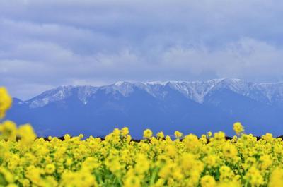第一なぎさ公園のカンザキハナナと比良山系の白い冠雪