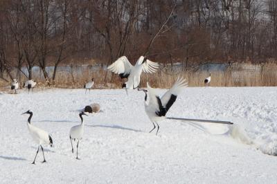 冬の阿寒湖とタンチョウ鶴(阿寒丹頂の里)
