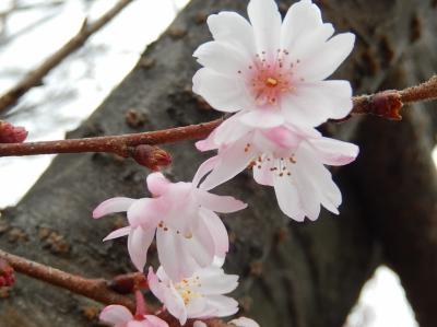 美しかった冬桜その後(2月8日観察)