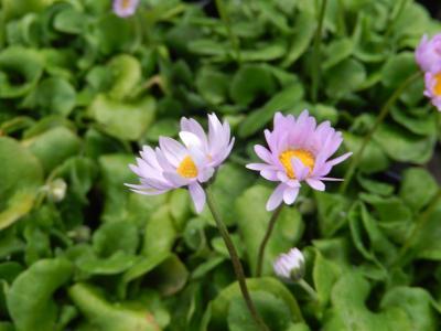 ガーデンセンターで見られた春の花⑩