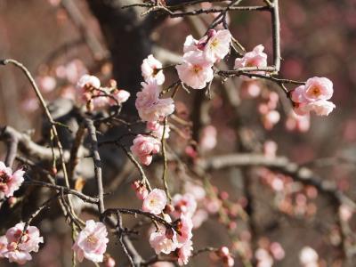梅まつり「梅香る庭園へ」 @小石川後楽園