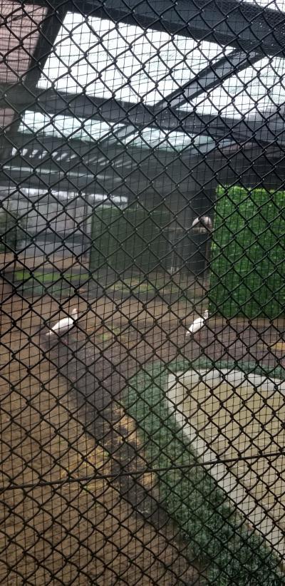 朱鷺(トキ)の生体展示