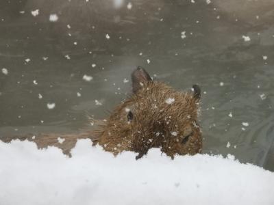 秋田大館アメッコ市♪①その前にまずは吹雪の大森山動物園でカピバラさんに癒されよう!