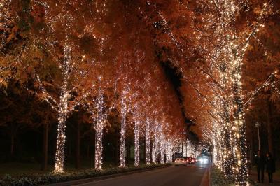 滋賀・紅葉のメタセコア並木を見に行ってみました(+京都のロームイルミネーション)