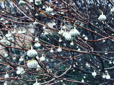 三十槌の氷柱(みそつちのつらら)と宝登山の蝋梅
