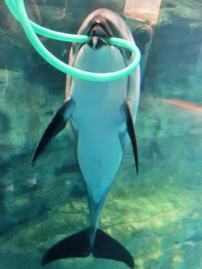 大阪10 海遊館c カマイルカ  タスマン海水槽で ☆給餌タイム・健康管理の訓練も