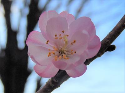 美しかった冬桜その後(2月13日観察)