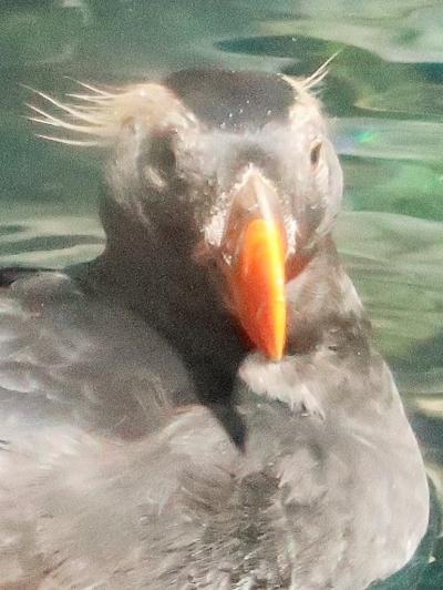 大阪15 海遊館h エトピリカ アリューシャン列島で ☆グレート・バリア・リーフまでも