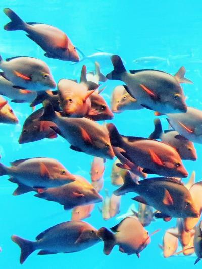 大阪16 海遊館i イシタイ・マダイ  瀬戸内海 生き物の宝庫 ☆サメ・エイ類も多種飼育